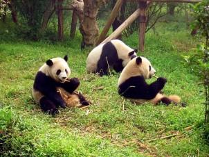 Chengdu panda breeding reserve