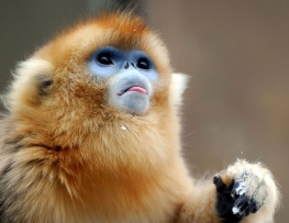 Tacheng Baima Golden Snub Nose Monkey