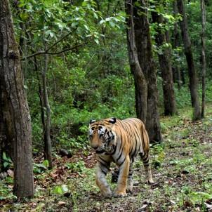 Kanha tiger